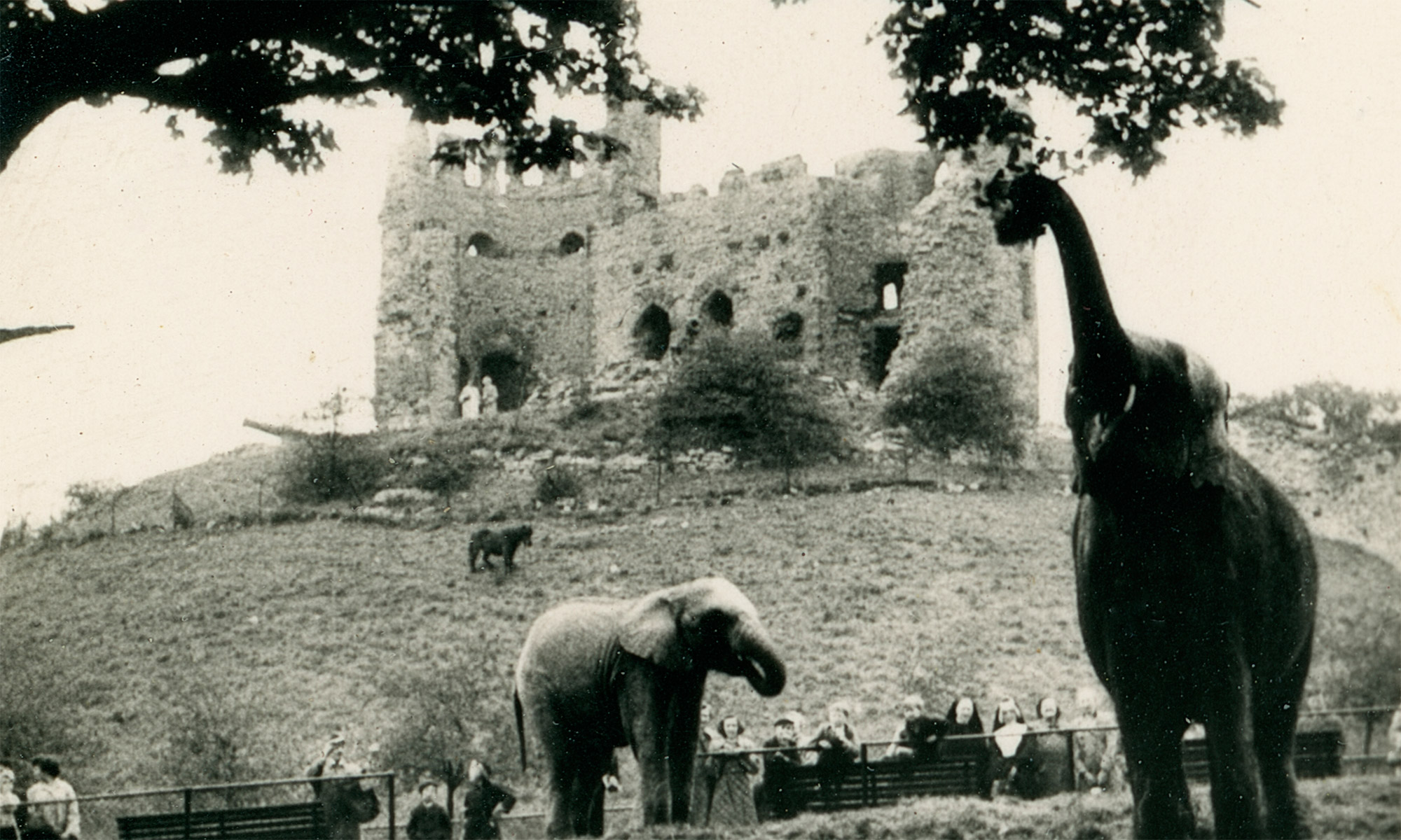Dudley Zoo: Where animals roam the grounds of a Royalist castle ruined during the First English Civil War